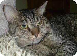 Domestic Shorthair Cat for adoption in Hamburg, New York - Kiwi