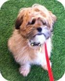 Shih Tzu/Lhasa Apso Mix Puppy for adoption in Boulder, Colorado - Stanley