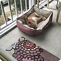 Adopt A Pet :: Buffy - Williston, FL