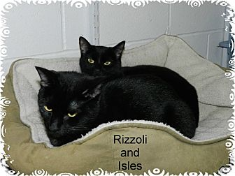 Domestic Shorthair Cat for adoption in Ozark, Alabama - Isles