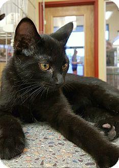 Bombay Kitten for adoption in Edgewater, New Jersey - Oreo