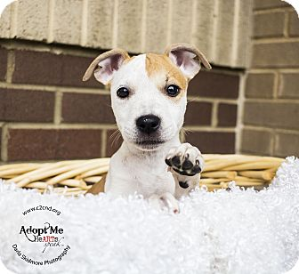 Pit Bull Terrier/Hound (Unknown Type) Mix Puppy for adoption in Charlotte, North Carolina - Pikachu (Pokemon Litter)