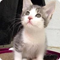 Adopt A Pet :: Sweet Pea - River Edge, NJ