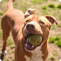 Labrador Retriever Mix Dog for adoption in Greenville, North Carolina - Wally