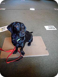 Labrador Retriever/Dachshund Mix Dog for adoption in Indian Trail, North Carolina - Lucy