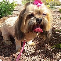 Adopt A Pet :: Celine - Las Vegas, NV