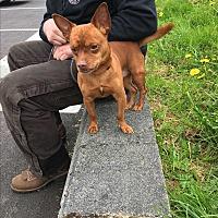 Adopt A Pet :: Miles - Covington, WA