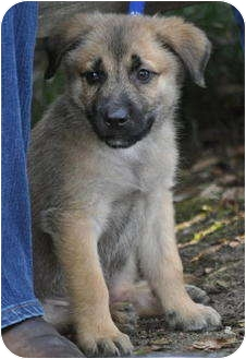 German Shepherd Dog Mix Puppy for adoption in Pike Road, Alabama - Choco