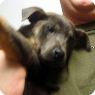 German Shepherd Dog/Doberman Pinscher Mix Puppy for adoption in Greencastle, North Carolina - Pressley