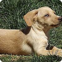 Adopt A Pet :: Pickles - Phoenix, AZ