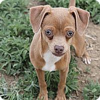 Adopt A Pet :: Arnie - Fountain, CO
