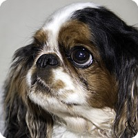 Adopt A Pet :: Violet - Cumberland, MD