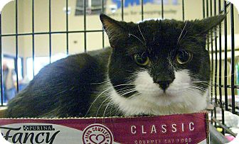 Domestic Shorthair Cat for adoption in Pittstown, New Jersey - Leah