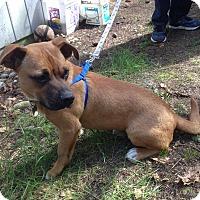 Adopt A Pet :: Jack - Adoption Pending - Gig Harbor, WA