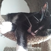 American Shorthair Cat for adoption in Canal Winchester, Ohio - Martha