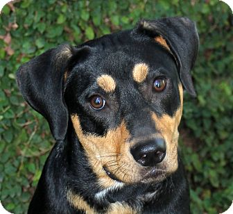Rottweiler Mix Dog for adoption in Natchitoches, Louisiana - Rocky
