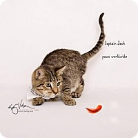 Bengal Kitten for adoption in Corona, California - CAPTAIN JACK