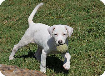 Labrador Retriever Mix Puppy for adoption in Tomball, Texas - Flo