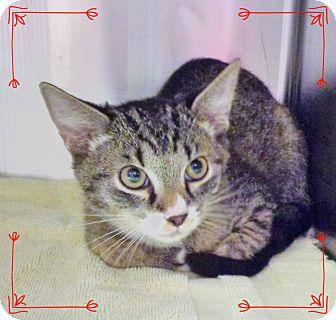 Domestic Shorthair Kitten for adoption in Marietta, Georgia - SPENCER (R)