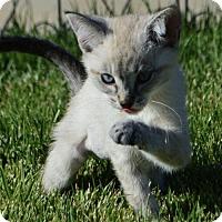 Adopt A Pet :: Tea: Chamomile - Corona, CA