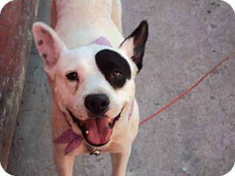 Bull Terrier/Terrier (Unknown Type, Medium) Mix Dog for adoption in San Diego, California - Gymena