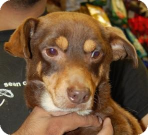 Chihuahua/Miniature Pinscher Mix Puppy for adoption in Brooklyn, New York - Kevin