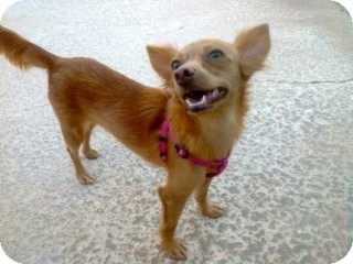 Chihuahua Mix Dog for adoption in Phoenix, Arizona - Ginger