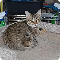 Domestic Shorthair Cat for adoption in Alpharetta, Georgia - Faye