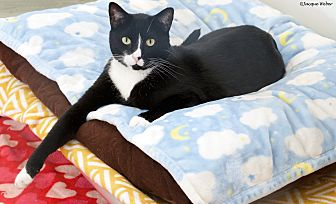 Domestic Shorthair Cat for adoption in St Louis, Missouri - Ladder