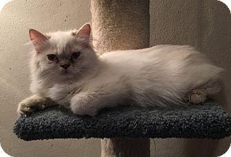 Persian Kitten for adoption in Hampton, Virginia - Bionca