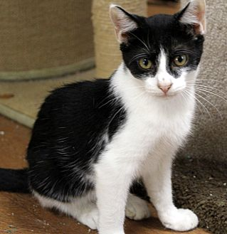 Domestic Shorthair Cat for adoption in Little River, South Carolina - Oreo
