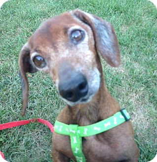 Dachshund Dog for adoption in Cumberland, Maryland - Holster