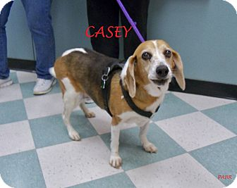 Beagle Dog for adoption in Ventnor City, New Jersey - CASEY