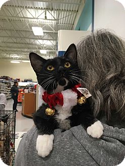 Domestic Shorthair Kitten for adoption in Tracy, California - Tiki (Love)-ADOPTED!
