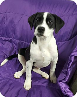 Labrador Retriever/Mixed Breed (Medium) Mix Puppy for adoption in Hawk Point, Missouri - Tiffany