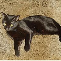 Adopt A Pet :: Panther - Monrovia, CA