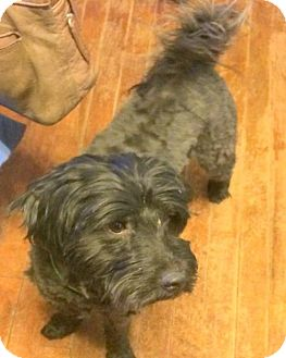 Havanese Mix Dog for adoption in Pardeeville, Wisconsin - Charlie