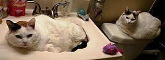 Turkish Van Cat for adoption in Riverside, California - Cleo & CC