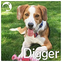 Adopt A Pet :: Digger - Chicago, IL
