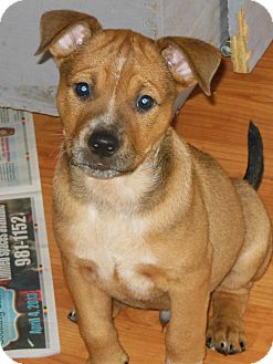 Mountain Cur/Rhodesian Ridgeback Mix Puppy for adoption in maryville, Tennessee - Mugsy