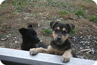 Shepherd (Unknown Type)/Labrador Retriever Mix Puppy for adoption in Morgantown, West Virginia - Firgie