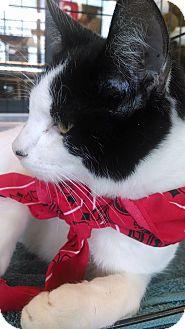 Domestic Shorthair Kitten for adoption in New Braunfels, Texas - Waylon