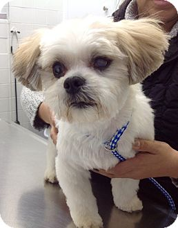 Shih Tzu Dog for adoption in Lincolnwood, Illinois - Max