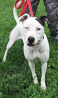 Pit Bull Terrier Dog for adoption in Troy, Illinois - Lilac