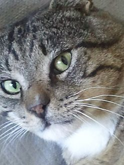 Domestic Shorthair Cat for adoption in Central Falls, Rhode Island - Carson