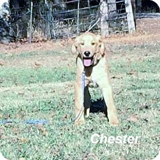 Labrador Retriever Mix Puppy for adoption in Manchester, Connecticut - Chester meet me 12/2