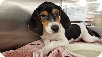 Beagle/Coonhound (Unknown Type) Mix Dog for adoption in Frankfort, Illinois - Aaron