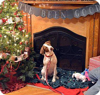 Hound (Unknown Type)/Labrador Retriever Mix Puppy for adoption in Huntington, Indiana - Ariel
