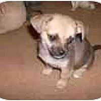 Adopt A Pet :: Darcey - Katy, TX
