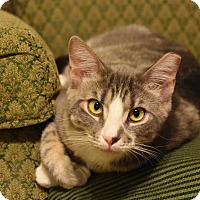 Domestic Shorthair Cat for adoption in Richmond, Virginia - Harper